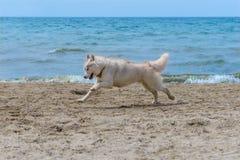 Осиплая собака породы Стоковые Изображения