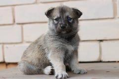 осипло Американская порода собаки стоковые изображения rf