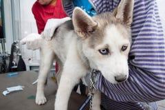 осиплый ветеринар щенка стоковая фотография rf