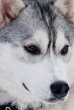 Осиплая порода собаки Стоковое Изображение RF
