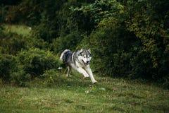 Осиплая собака бежать outdoors зрелищность Река Молодая собака сидя на траве снаружи стоковое изображение rf