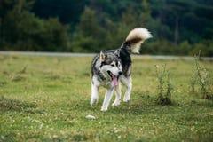 Осиплая собака бежать outdoors зрелищность Река Молодая собака сидя на траве снаружи стоковая фотография rf