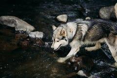 Осиплая собака бежать outdoors зрелищность Река Молодая собака сидя на траве снаружи стоковые изображения rf