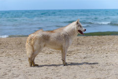 Осиплая собака породы Стоковое Фото