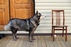 Осиплая собака стоя около пустого стула Стоковые Фото