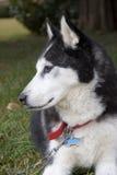 Осиплая собака Стоковое Фото