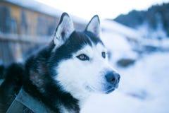 Осиплая собака Стоковая Фотография