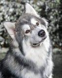Осиплая собака Стоковое фото RF