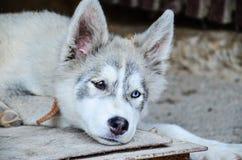 Осиплая собака стоковые фото