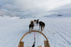 Осиплая собака sledding в Норвегии Стоковая Фотография