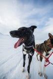 Осиплая собака sledding в Норвегии Стоковое фото RF
