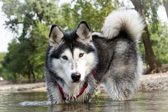 Осиплые броды собаки в реке Стоковое фото RF