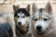 Осиплые собаки Стоковое Фото
