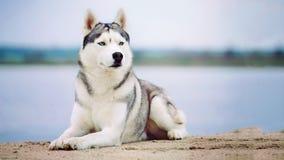 осиплый сибиряк портрета Собака на речном береге Стоковые Фото