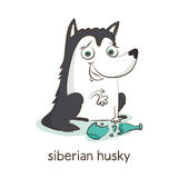 осиплый сибиряк Характер собаки на белизне Стоковые Изображения