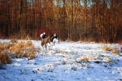 осиплый сибиряк Стоковое фото RF