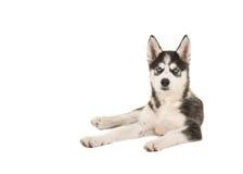Осиплый щенок при 2 голубого глаза лежа на поле Стоковое Фото