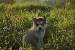 Осиплый щенок с различными глазами Стоковое фото RF
