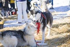 2 осиплых собаки играя совместно outdoors Стоковая Фотография RF