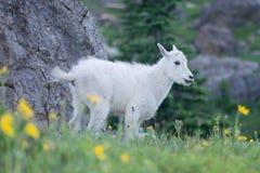 Оскал козы горы младенца Стоковое Изображение RF