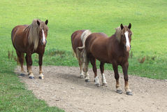 ослабленные лошади Стоковые Фото