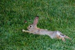 ослабленный кролик Стоковое Изображение