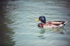 Ослаблять дикой утки плавая в пруде Стоковое Фото