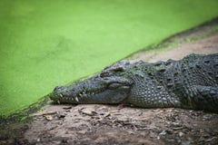 Ослаблять крокодила лежа на камне около воды в крокодилах обрабатывает землю - животный гад живой природы стоковое изображение