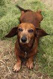 ослаблять представления dachshund причудливый Стоковая Фотография RF