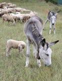 2 осла в табуне овец пася выгон Стоковое фото RF