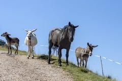 3 осла и большой черной лошадь на голубой предпосылке Стоковая Фотография RF