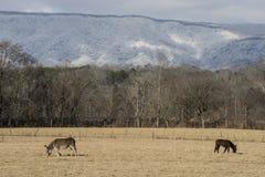2 осла пасут под горой покрытой снегом Стоковое Фото