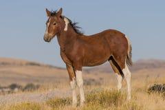 Осленок дикой лошади в Юте Стоковое Изображение