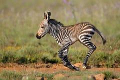 Осленок зебры горы накидки Стоковое фото RF