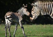 Осленок зебры со своей матерью стоковые изображения rf
