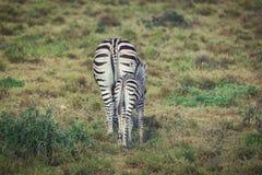 Осленок и мать зебры идя совместно в национальный парк Addo стоковые фото