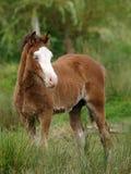 осленок милый welsh стоковые фотографии rf