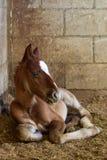 Осленок новорожденного в мексиканской конюшне Стоковые Изображения RF