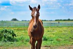 Осленок стоя самостоятельно в поле травы стоковая фотография rf