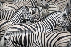 Ослепите зебры стоковое изображение rf