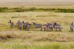 Ослепите зебр в национальном парке Serengeti стоковые изображения