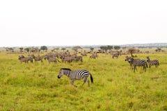 Ослеплять зебр и implausibility голубой антилопы гну Стоковые Фото