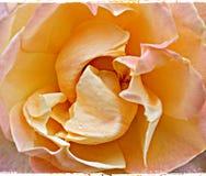 Ослеплять теплый персик поднял с текстурированным слоем прикладным стоковые изображения rf