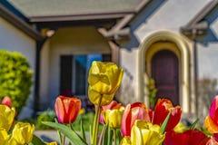 Ослеплять тюльпаны с живыми желтыми и красными лепестками зацветая под солнечным светом стоковые фото