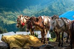 Ослы в проводке, зоне Annapurna trekking стоковая фотография