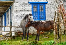 Ослы на горном селе на пути базового лагеря стоковая фотография