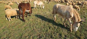 Ослы пася с овцами Стоковые Изображения RF