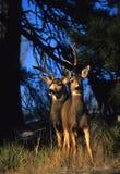 осляк лани оленей самеца оленя Стоковое Изображение