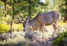 осляк оленей каньона bryce Стоковые Изображения