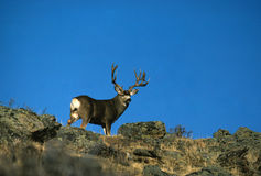 осляк оленей самеца оленя огромный Стоковые Изображения